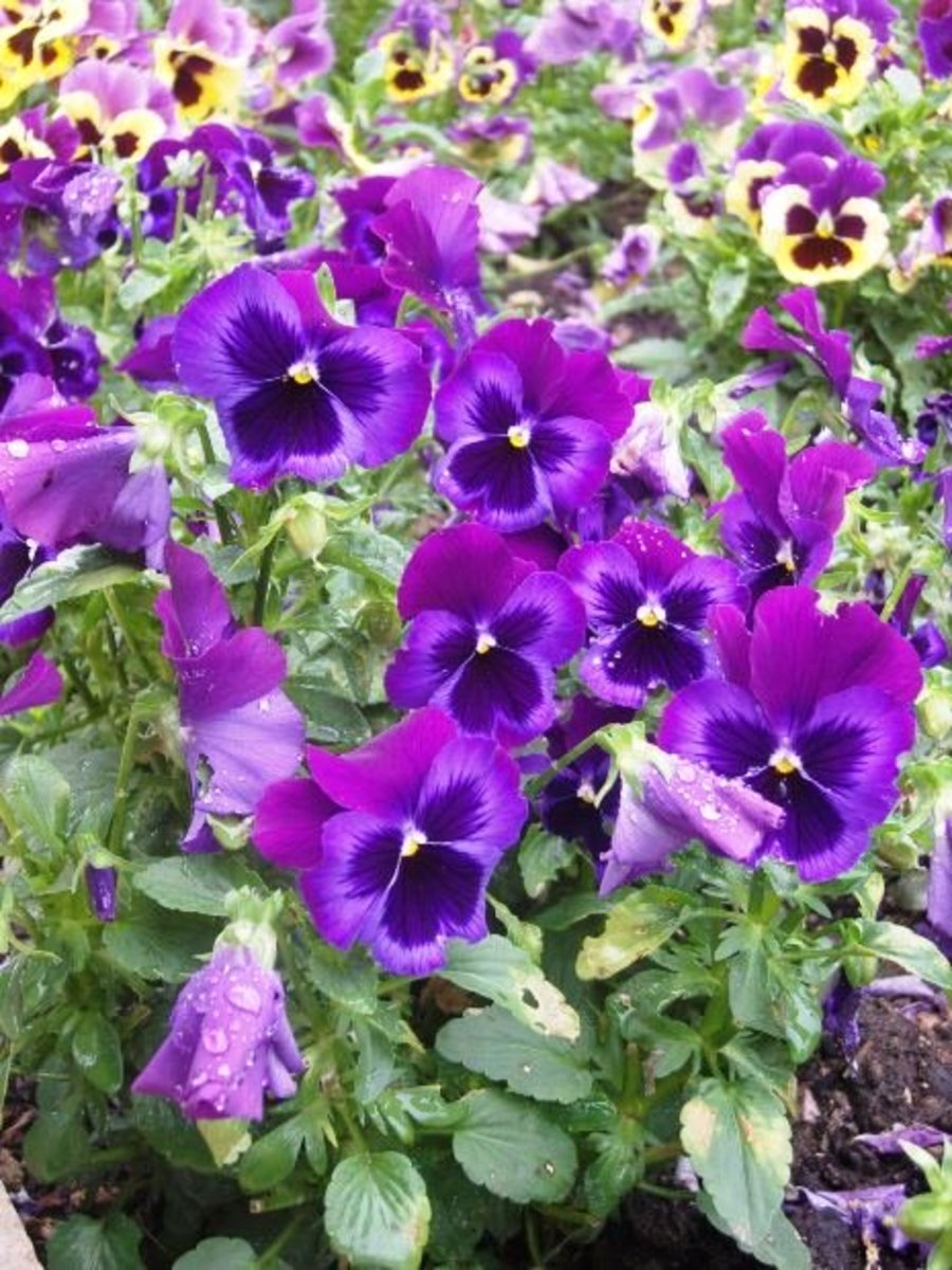 The cheerful Pansy can bloom all summer long if planted in the shade garden.