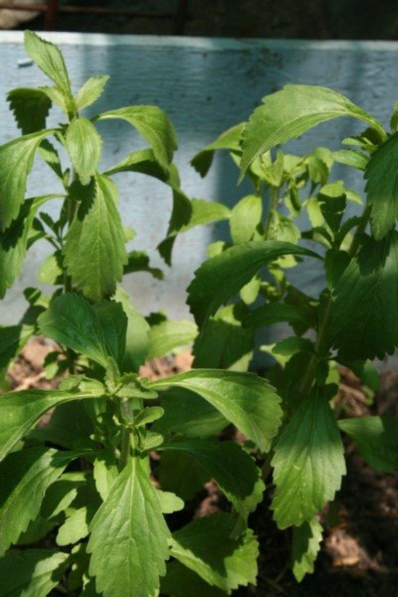 This stevia plant grows in a raised wooden planter box in an enclosed shadecloth area alongside hot chili peppers.