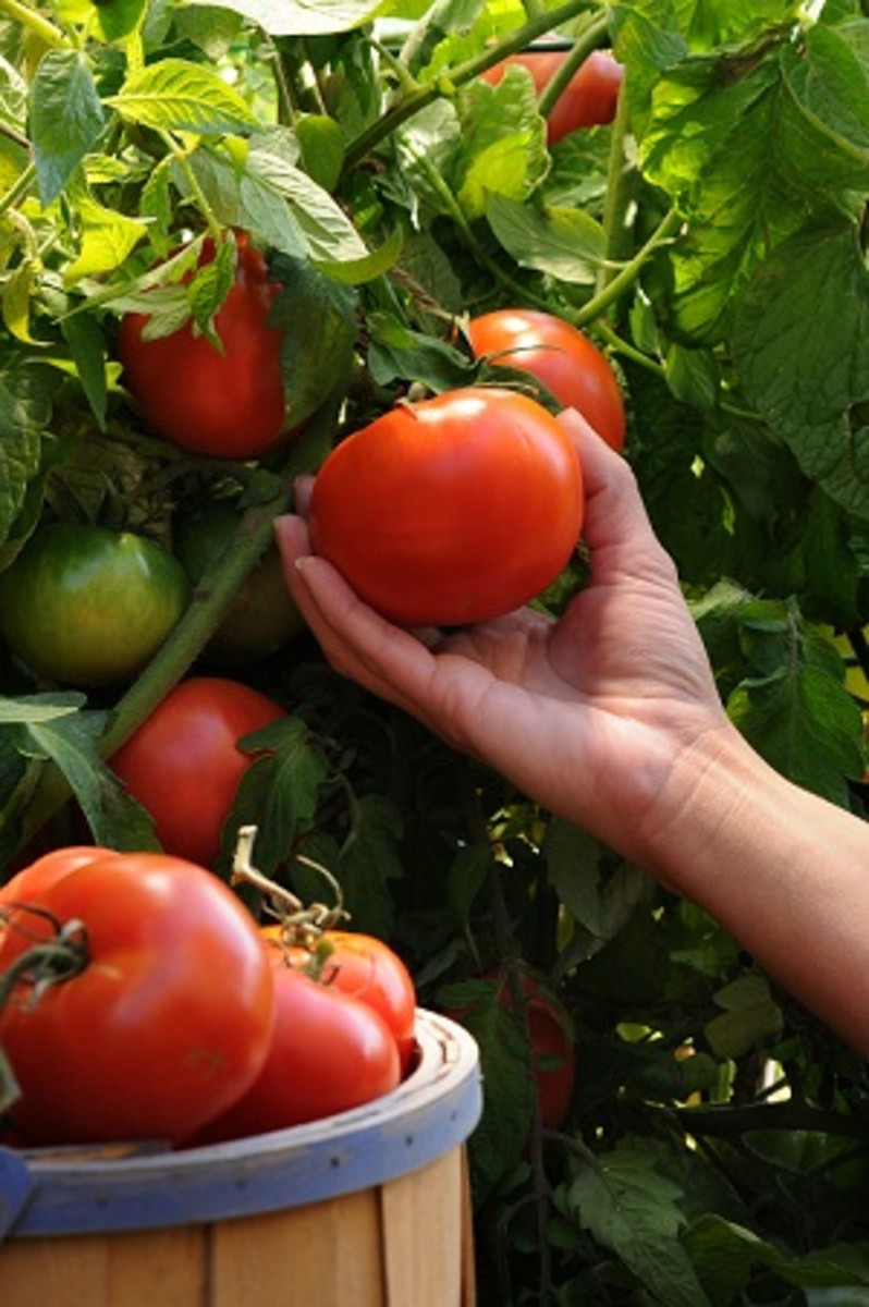 growing-tomato-plants