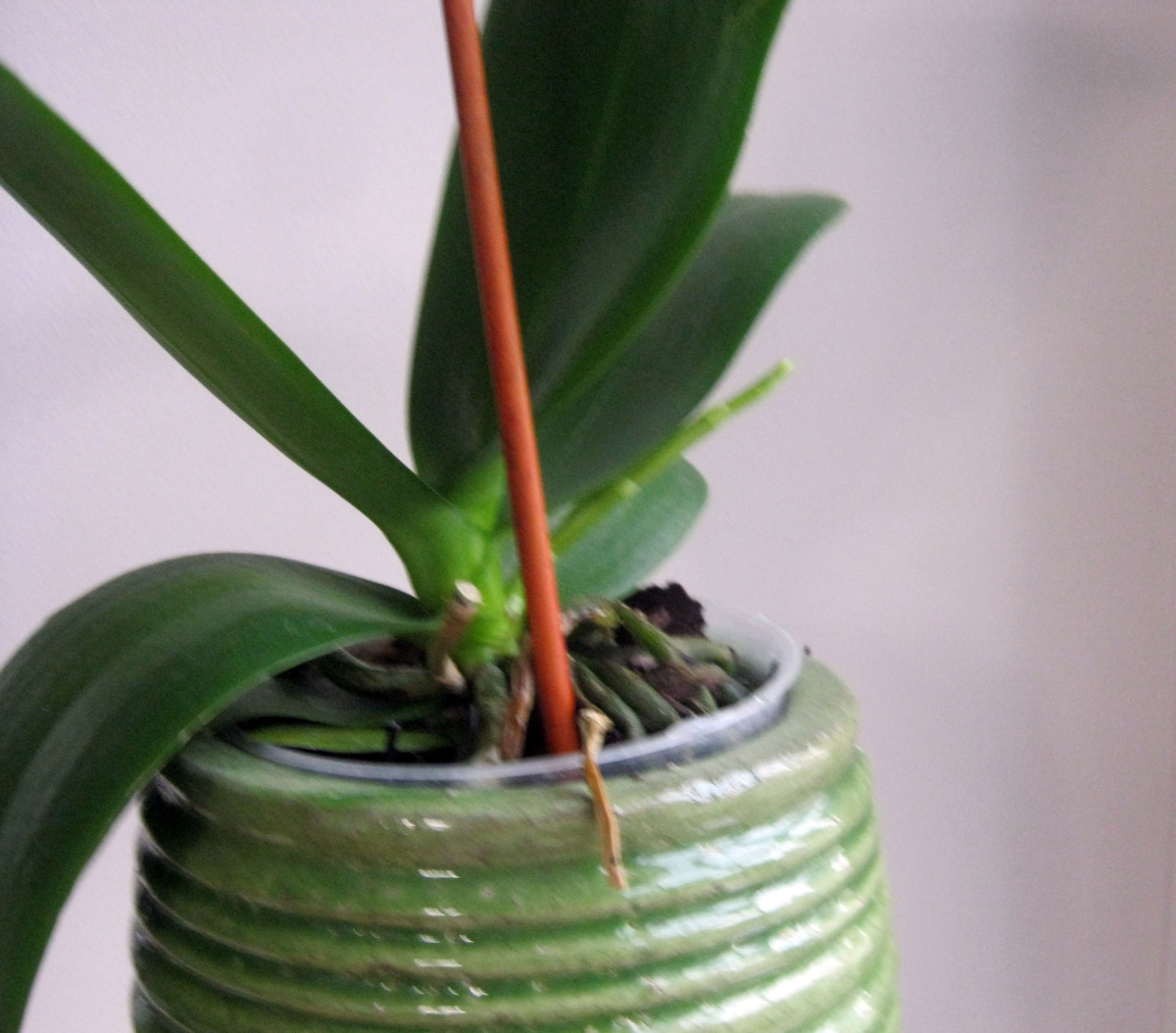 See the new spike growing from the right side of the plant.