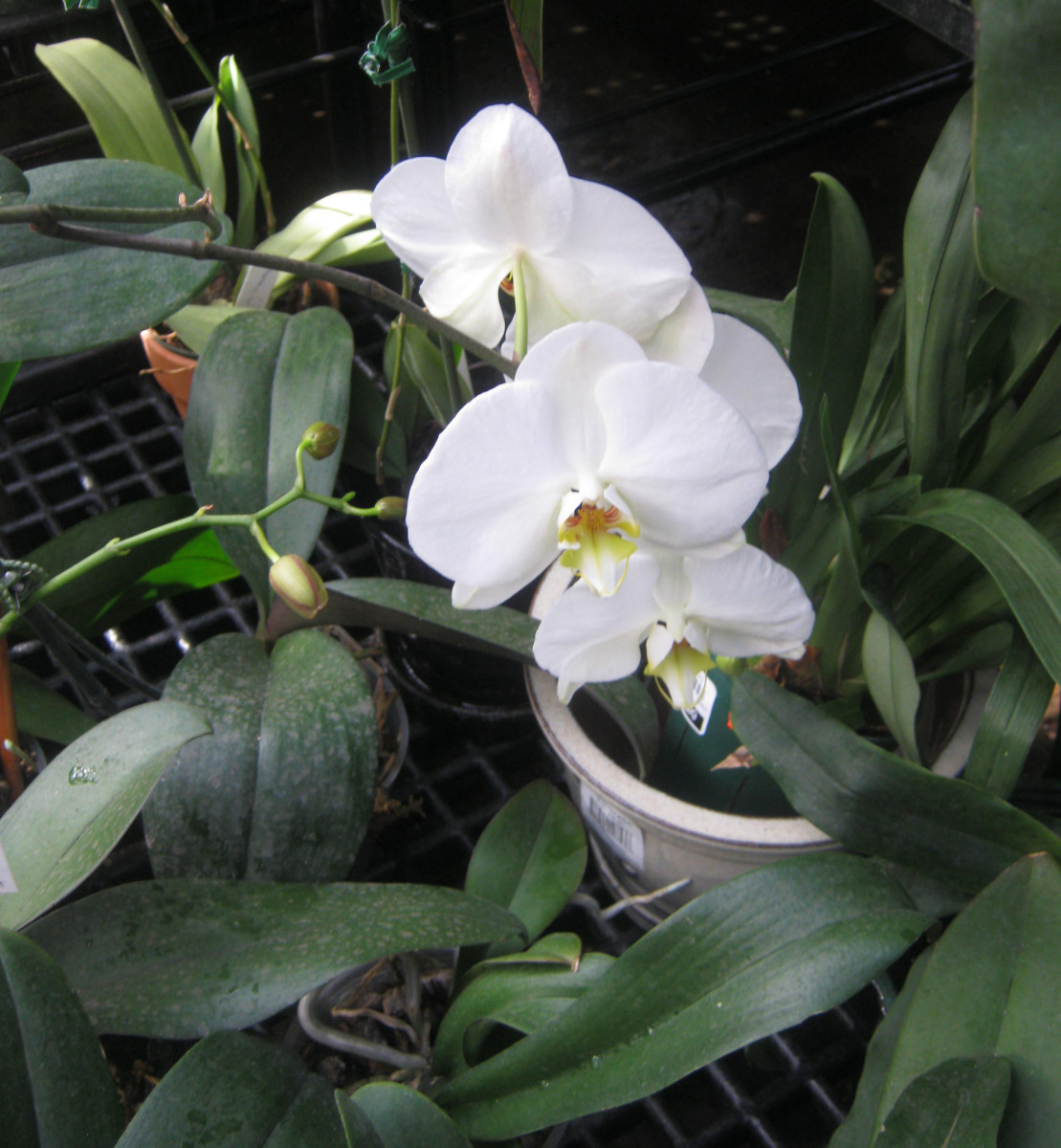 Easy Orchid For Beginners Moth Orchid Or Phalaenopsis