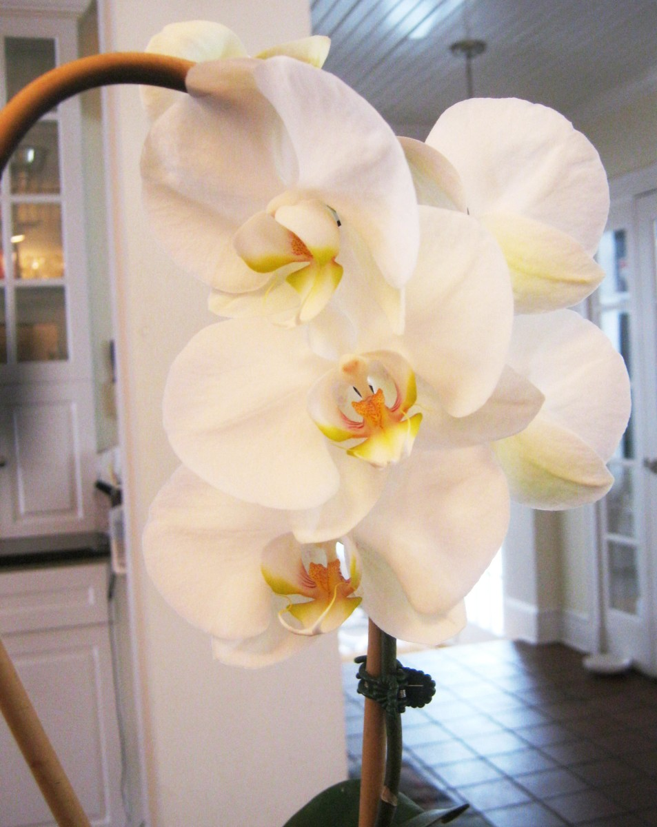 I was so thrilled when I got this moth orchid to rebloom!