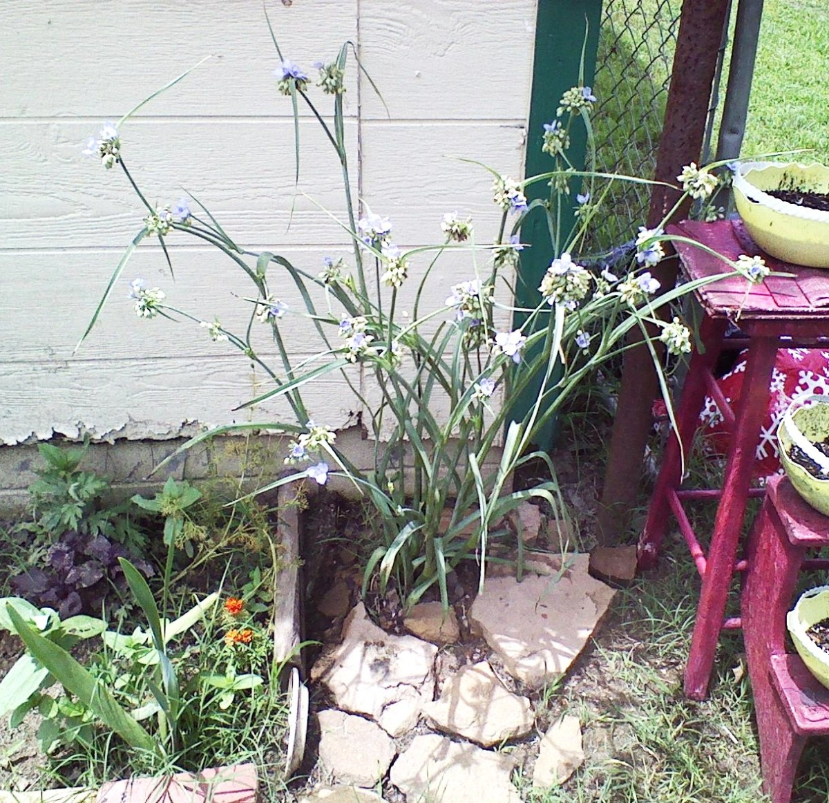 Spiderwort two days after being transplanted. Already blooming again.