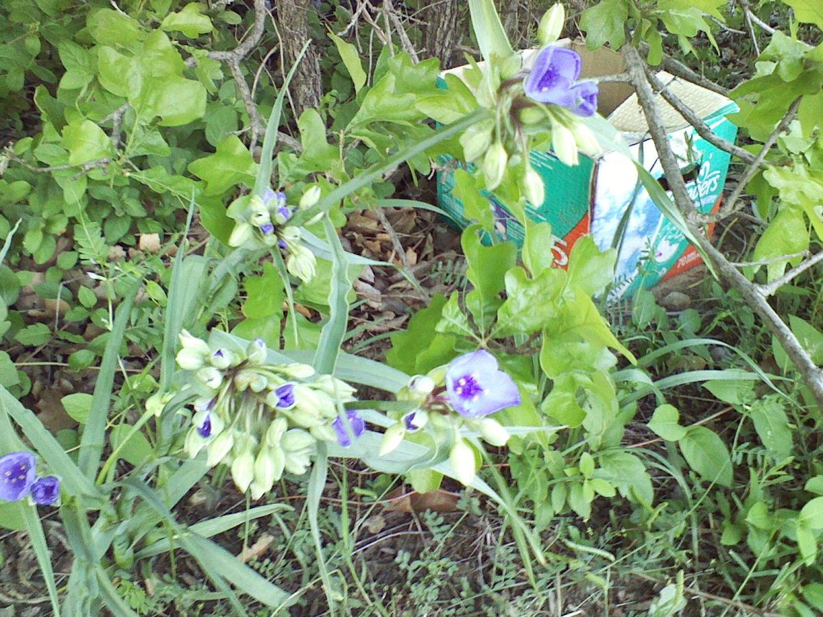 Spider Wort growing by the roadside