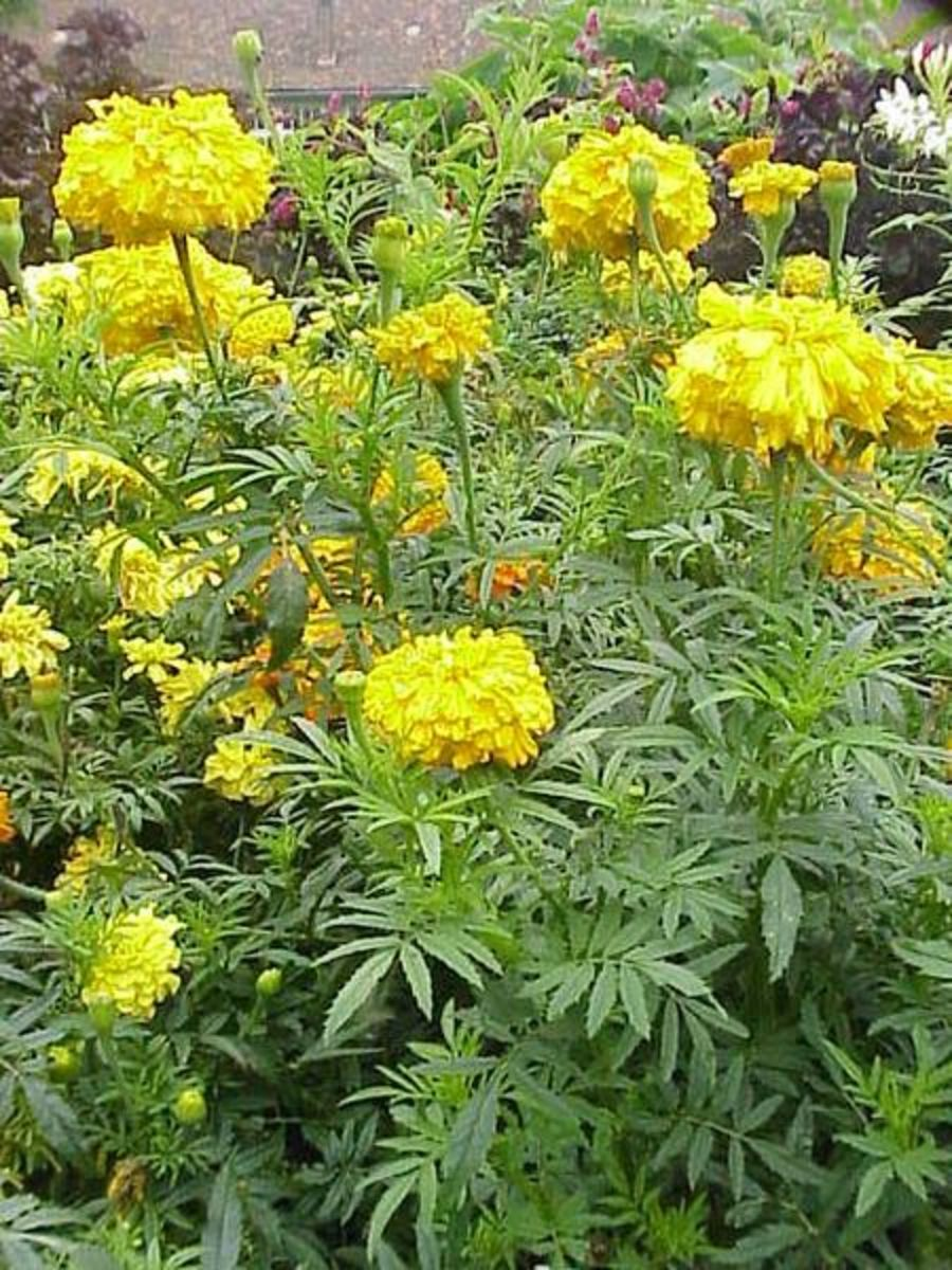 Unlike French marigolds, African marigolds don't produce flowers with red on them.