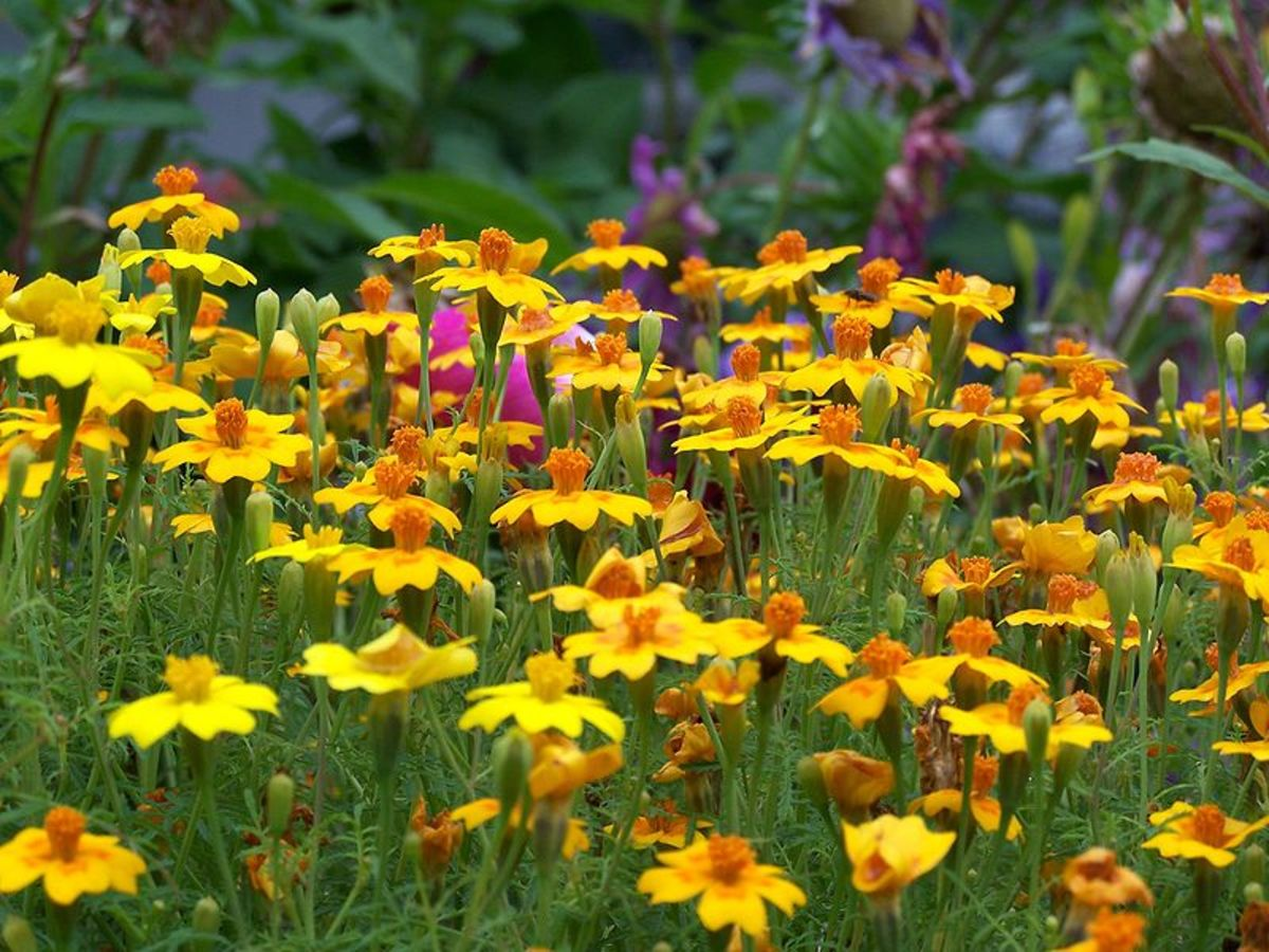 Signet marigolds are edible; however, not all French marigolds are.
