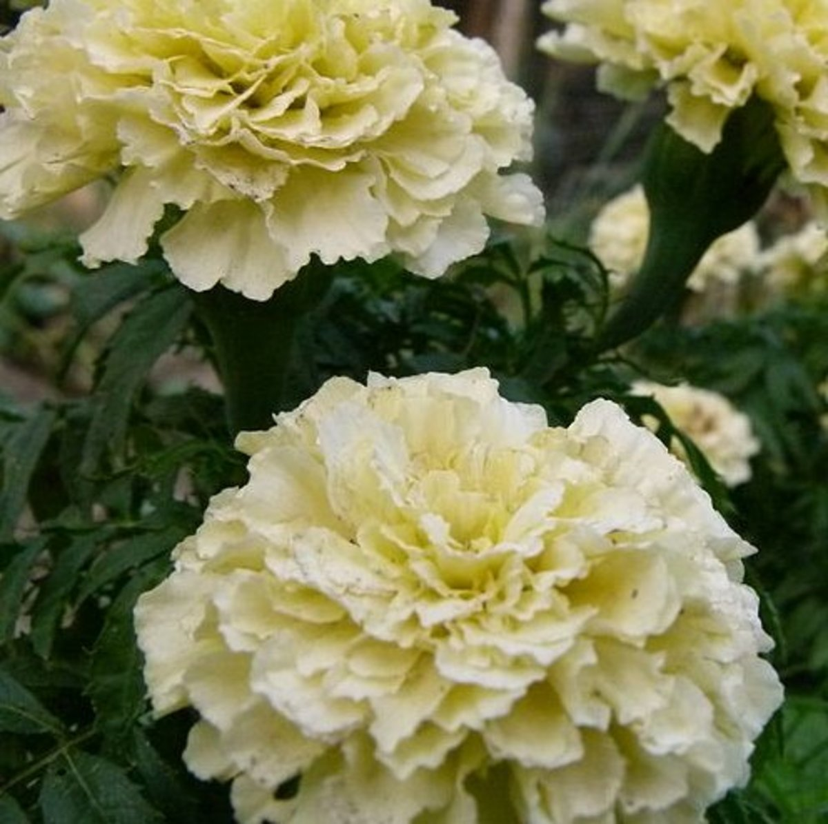Marigolds are loved by gardeners world wide. Pictured: a white marigold growing in India.
