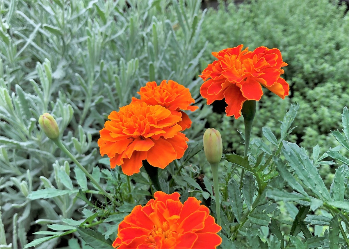 French marigolds grow about a foot tall, smaller than African marigolds & larger than rock-garden marigolds. Pictured: French marigold Deep Orange Super Hero adds color to our fall herb garden.