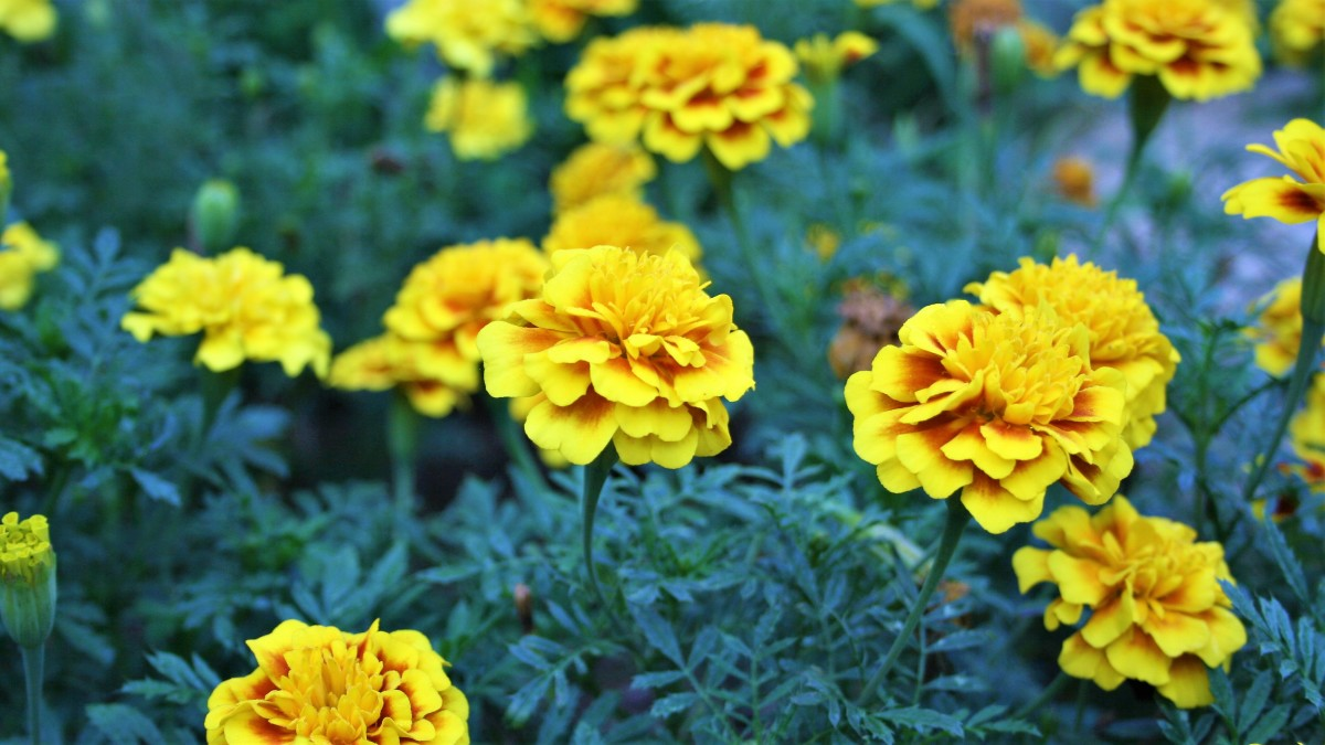 French marigolds were my dad's favorite flowers. This year in his memory, I sowed two new Super Hero varieties. Pictured: French Marigold Super Hero Yellow.