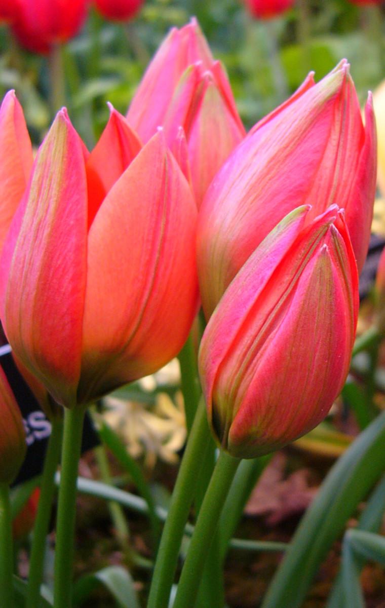 Tulip hageri 'Little Beauty'