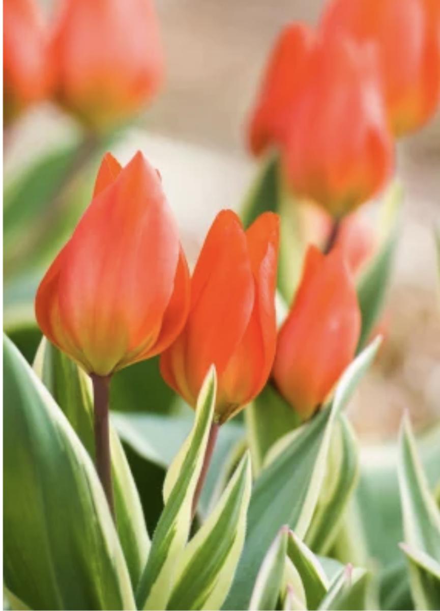 Tulip praestans 'Unicum'