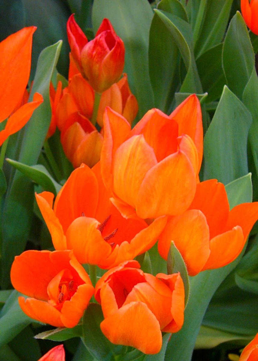 Tulip praestans 'Fusilier'