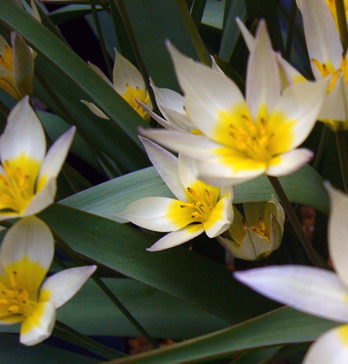 Tulpa biflora