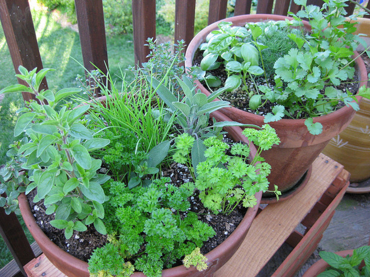 Cilantro is good companion to most herbs (to all that I know and use at least).
