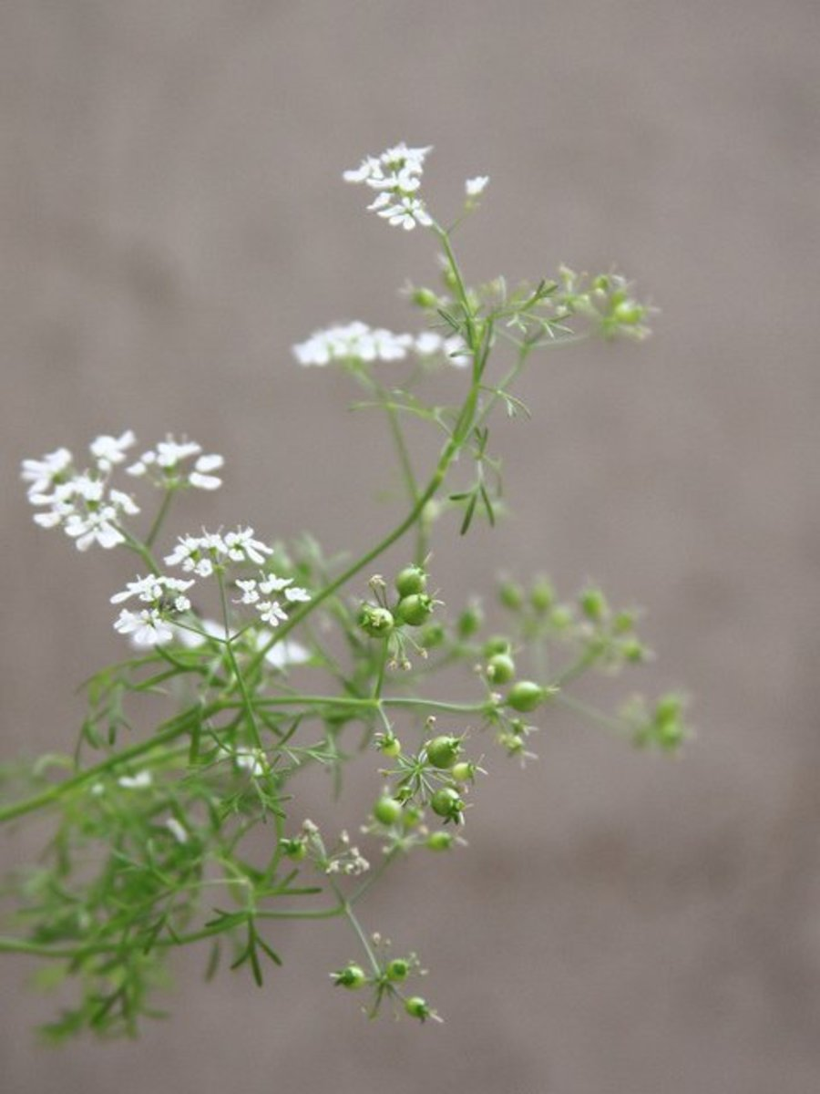 Cilantro flowers and seeds. Note how the upper leaves have changed completely