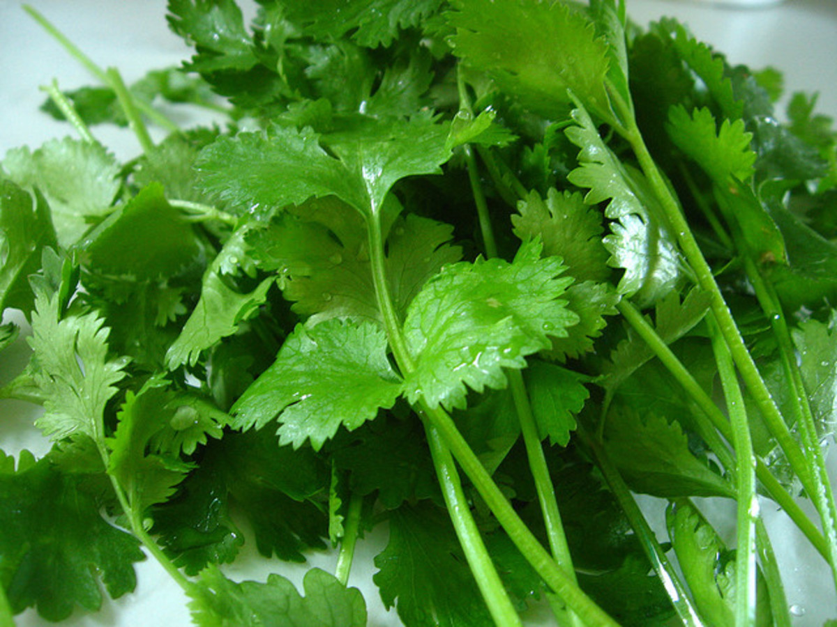 Cilantro's leaves taste better when they are dark green and fresh (just picked up).