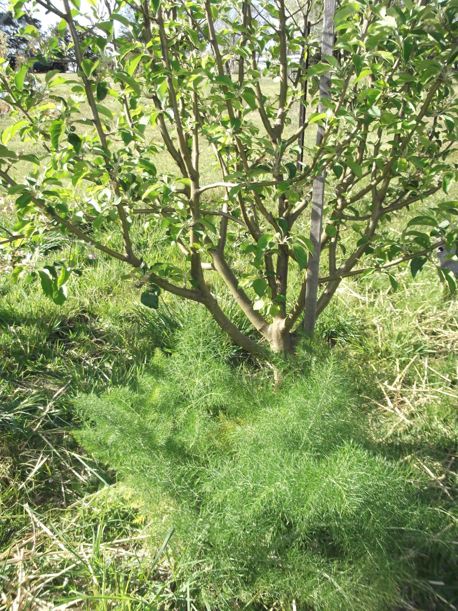 With spring comes new growth from the fennel plants, which I rely on to protect my fruit trees from flying and crawling bugs. The fennel will grow about six feet tall during summer.