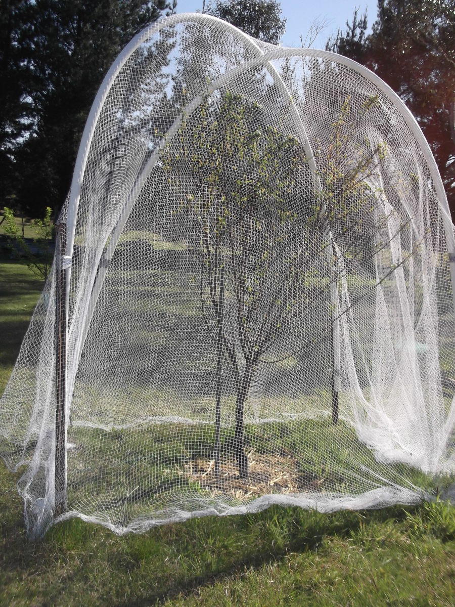 Last year, cockatoos ate every one of the peaches on this tree. This year, I left in uncovered while blossoming, but covered it with bird netting at the first sign of fruit.