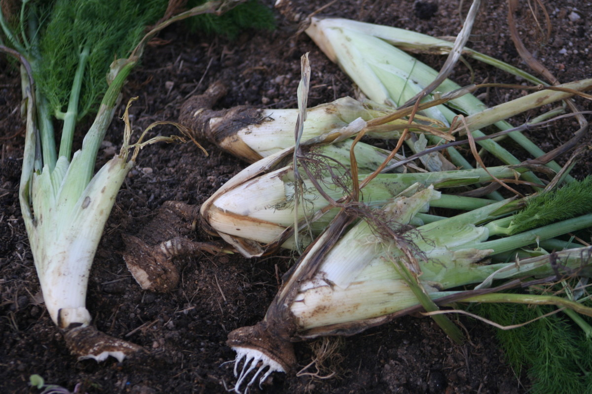 In winter, fennel dies back. After digging up a few of the plants in spring and separating bulbs to spread throughout my garden and orchard, I save money. No need to buy more fennel plants. :)