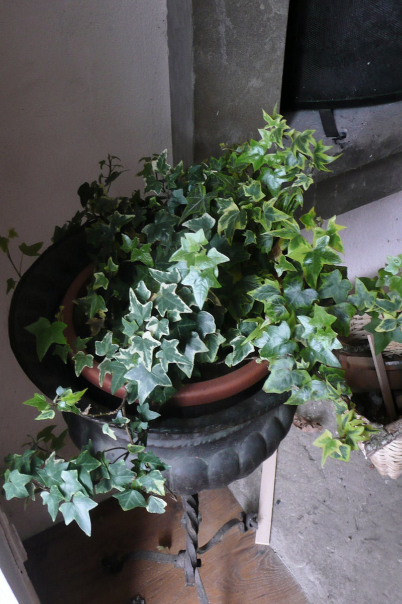 Hedera helix can be invasive in the garden, so it's perfect for container planting.