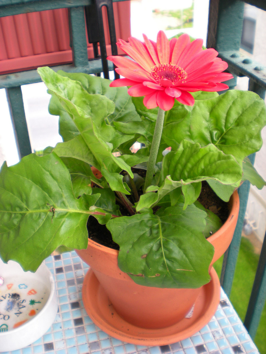 Gerbera jamesonii: Brighten up any space with a splash of color.