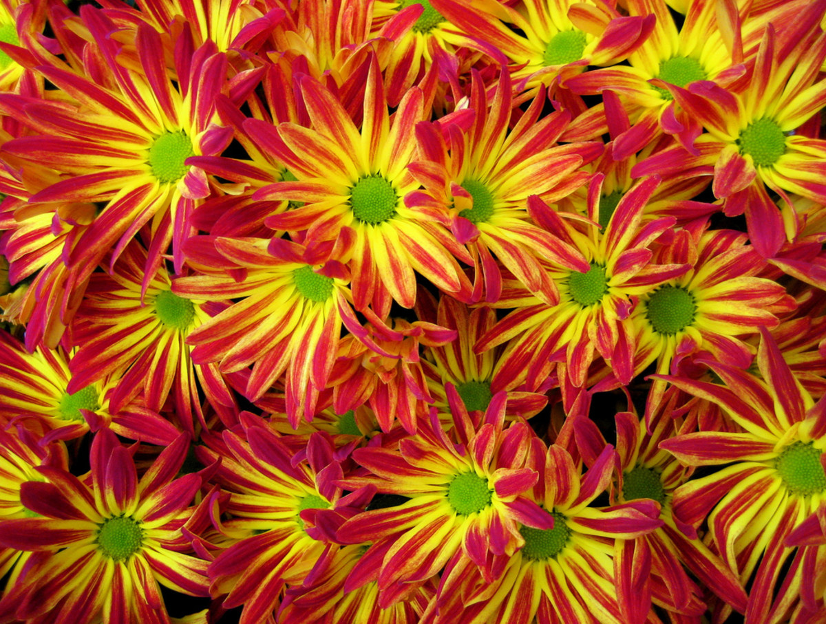 Chrysanthemums are available in a wide selection of colors.