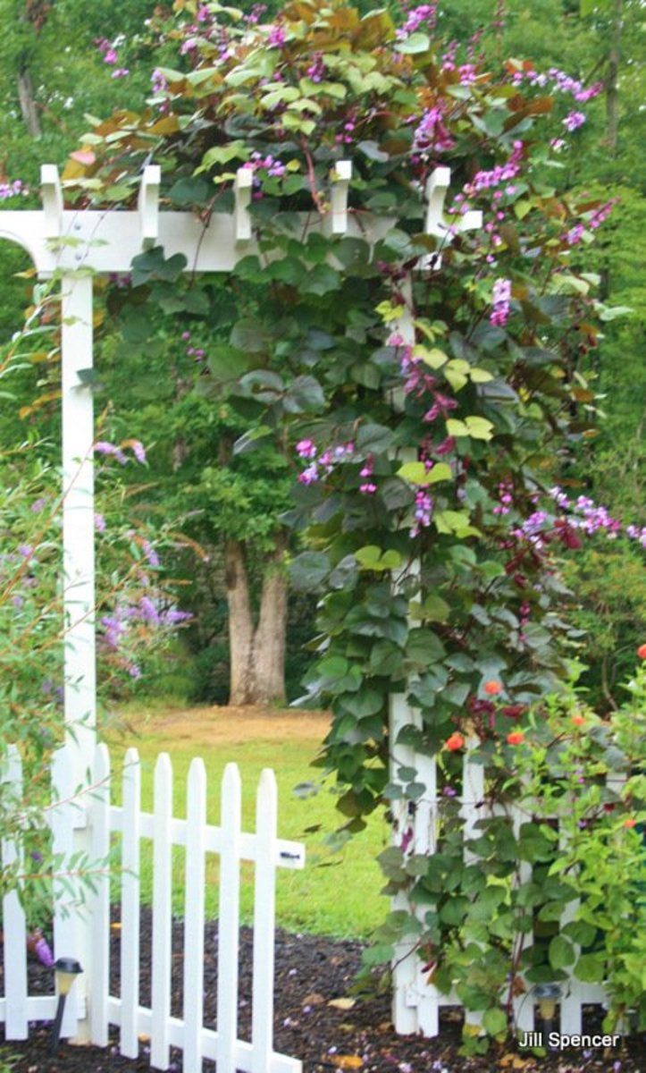 Hyacinth bean vines grow over our back garden gate. Shasta daisies and zinnia bloom in the foreground. In the background is a flowering butterfly bush.