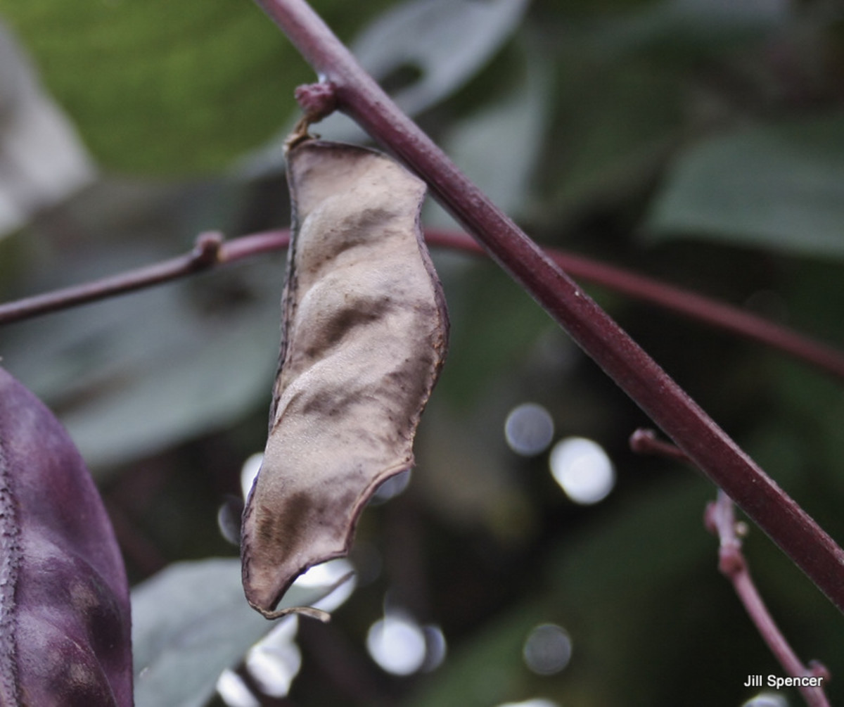 Allow hyacinth bean pods to dry on the vine before collecting them in the fall.