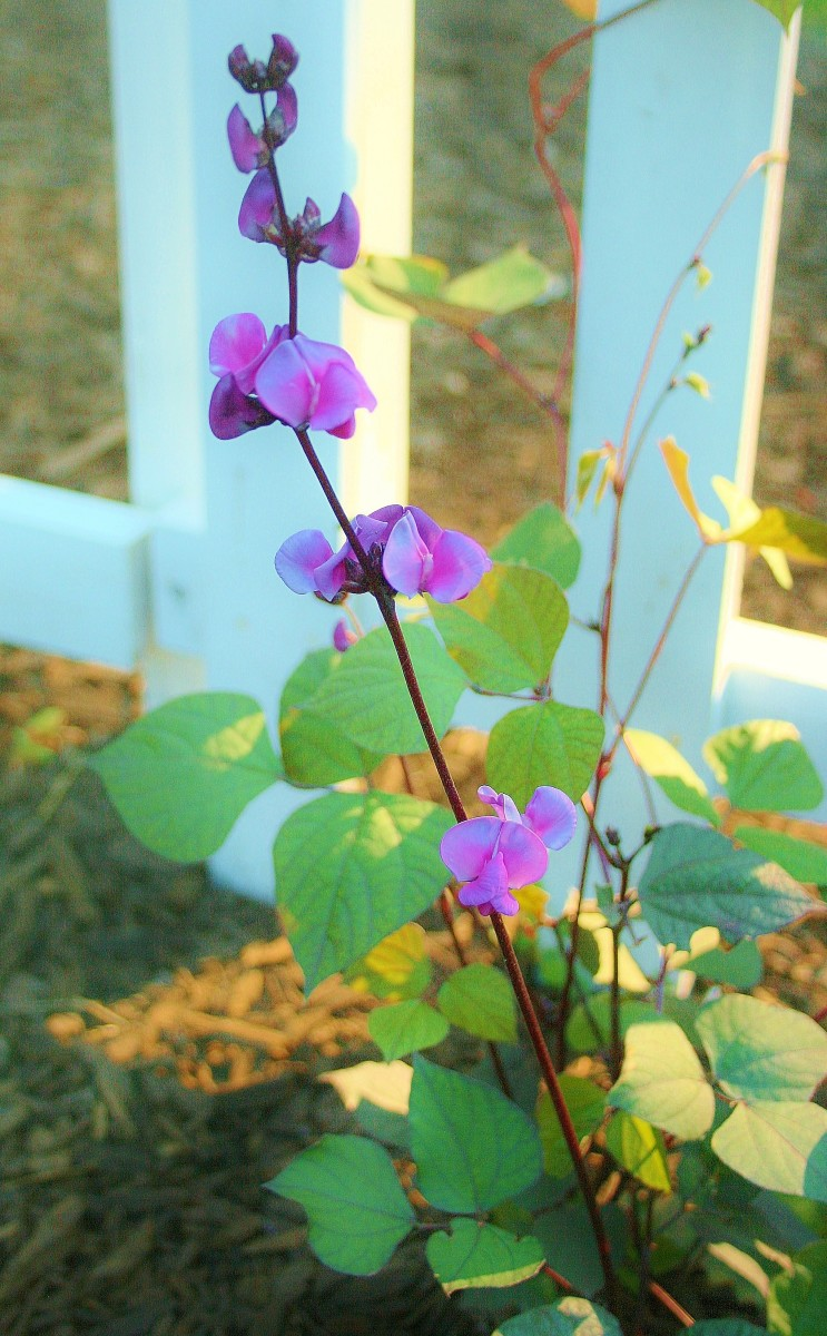 Our hyacinth bean vine in late spring.