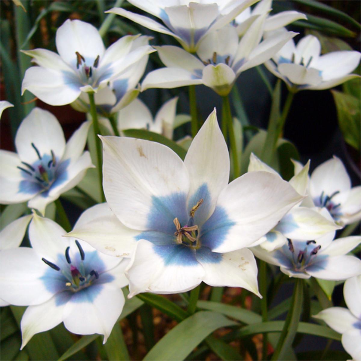 Tulipa humilis var. pulchella Albocaerulea Oculata Group