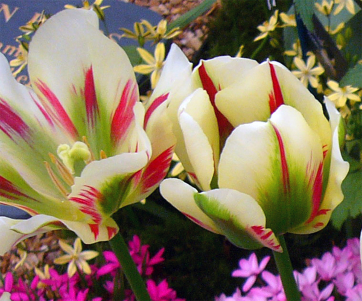 Viridiflora Tulips ('Flaming Spring Green')