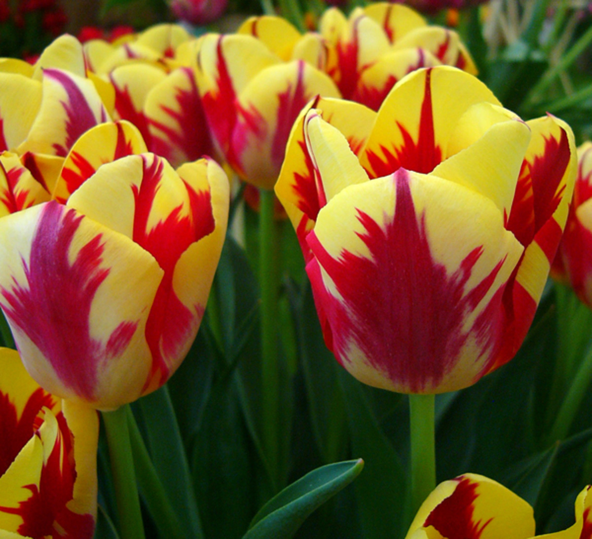 Triumph Tulips ('Grande Perfection')