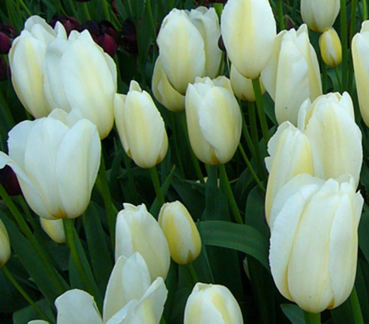 Tulip Coquette
