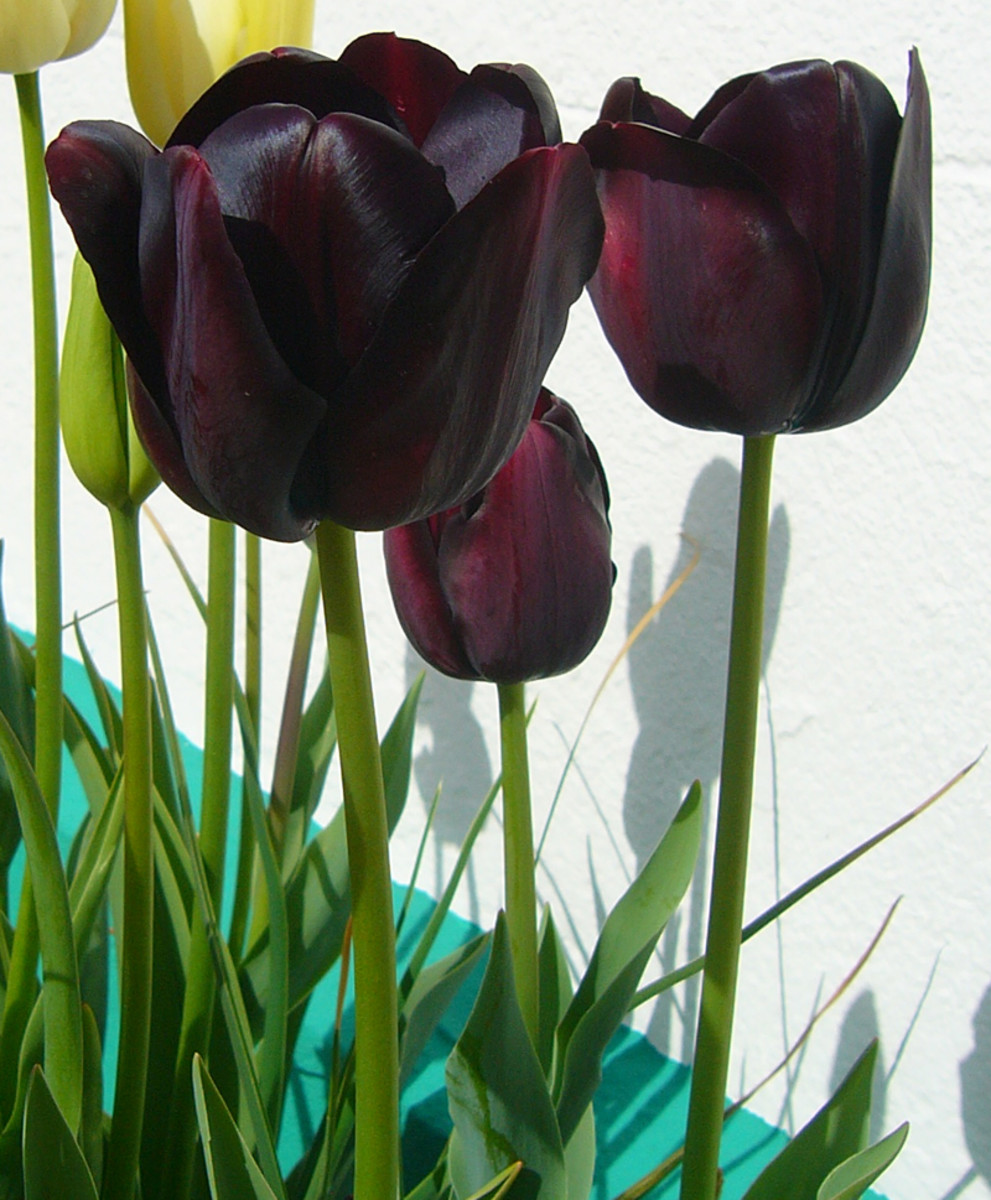 Single Late Tulips ('Queen of the Night')