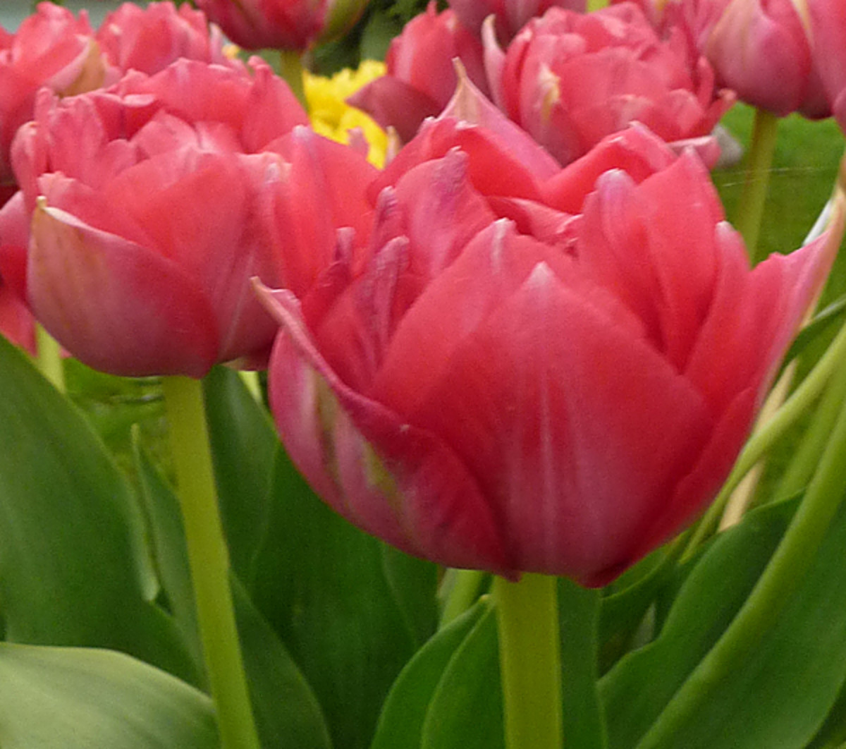 Double Early Tulip (Tulip 'Erfurt')