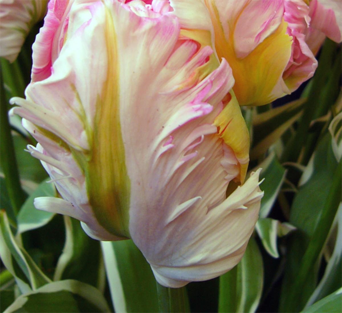 Parrot Tulip ('Silver Parrot')
