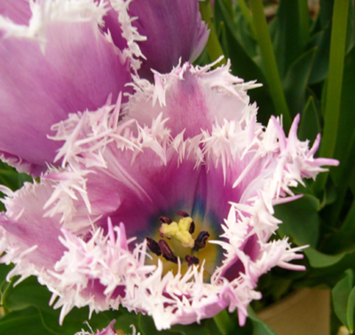 Fringed Tulip ('Cummins')