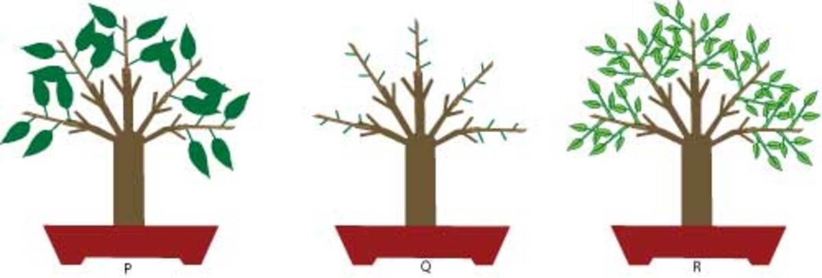 Illustration of leaf pruning.