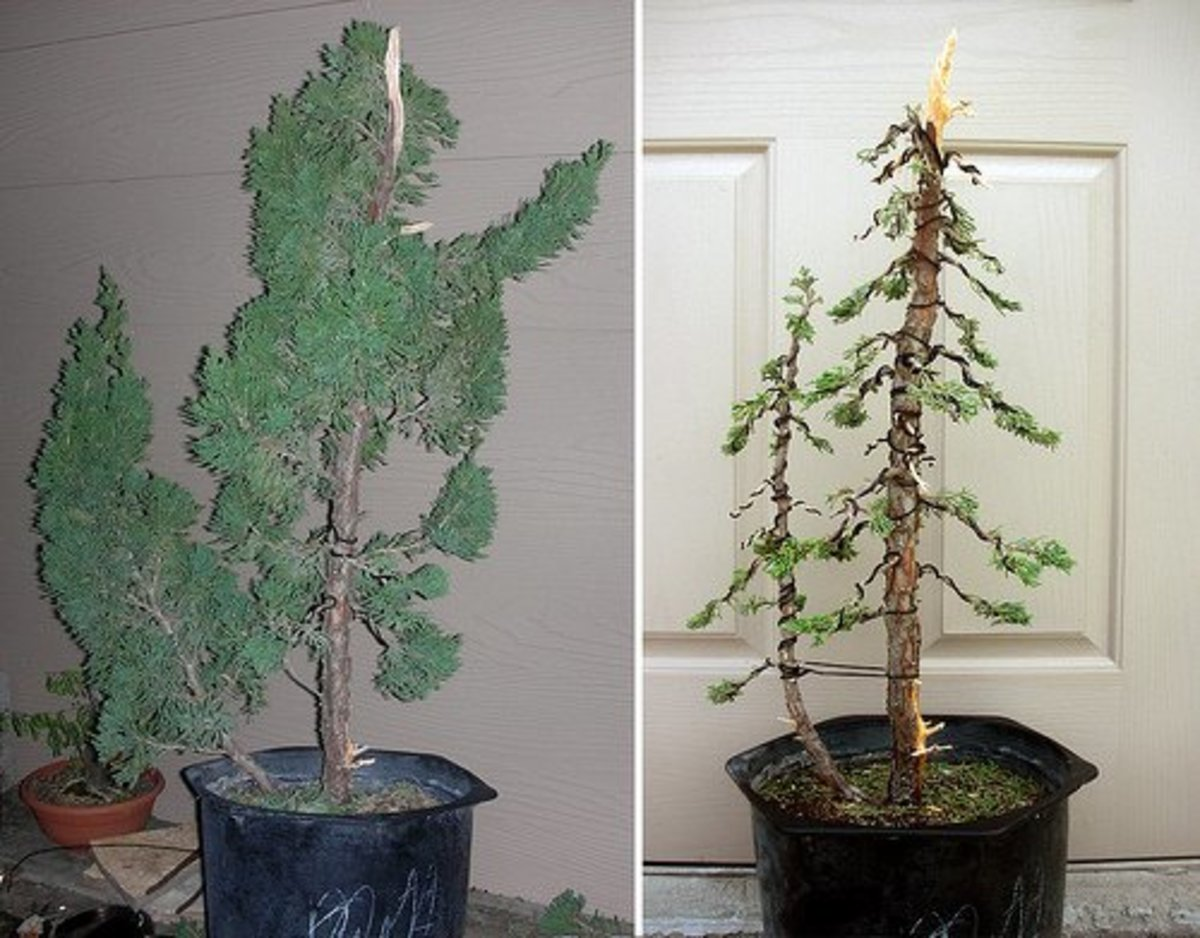 A conifer tree before and after styling.