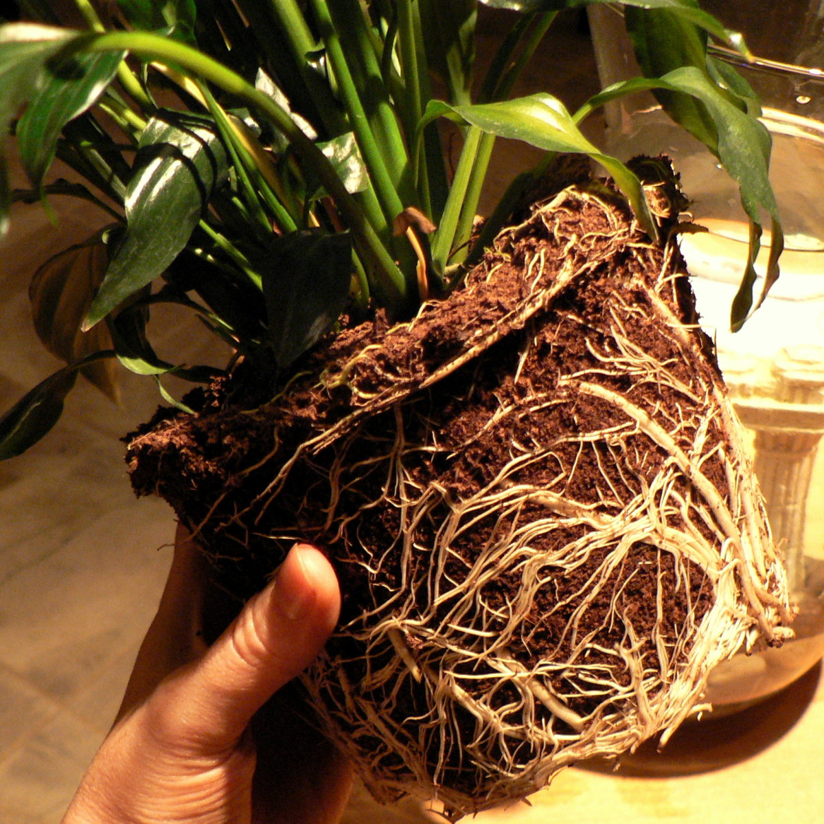 Peace Lily roots