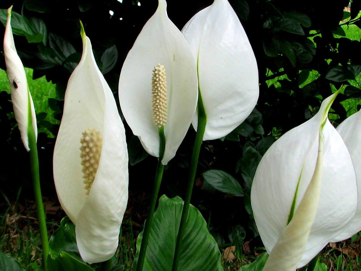 how-to-look-after-a-peace-lily-five-important-steps-you-need-to-remember-about-this-plant
