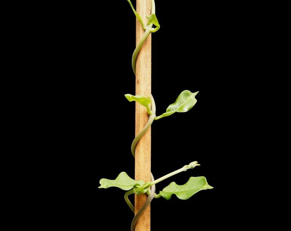 This is a typical bine plant; its stem is curling around the support, rather than any tendrils.