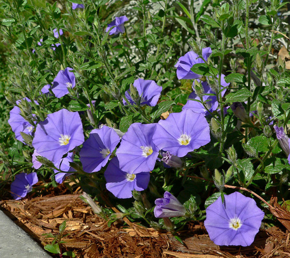 Convolvulus or Morning Glory is a clockwise bine.