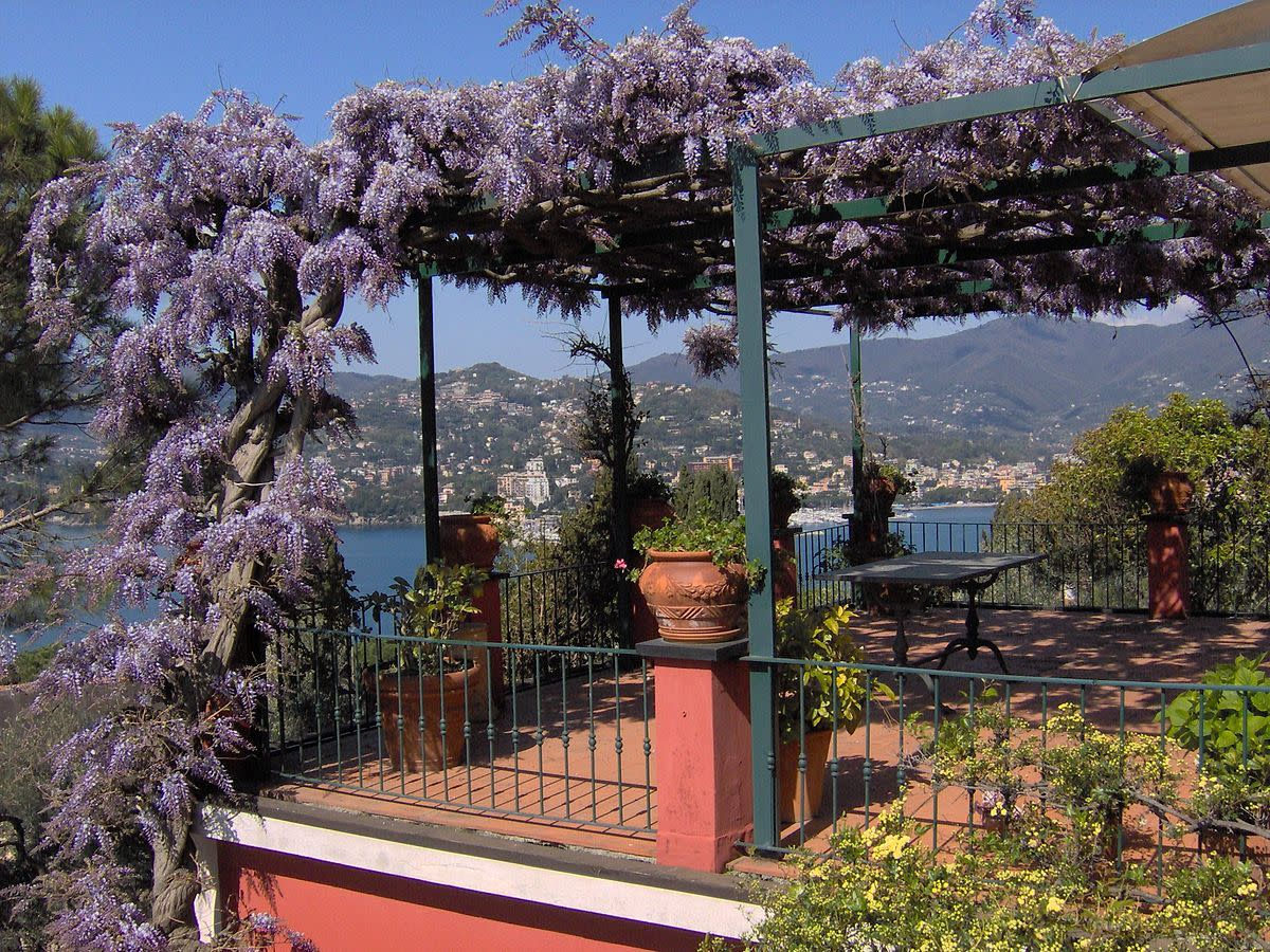 Wisteria is a perennial bine. Here it gives perfumed shade from the sun in Italy.