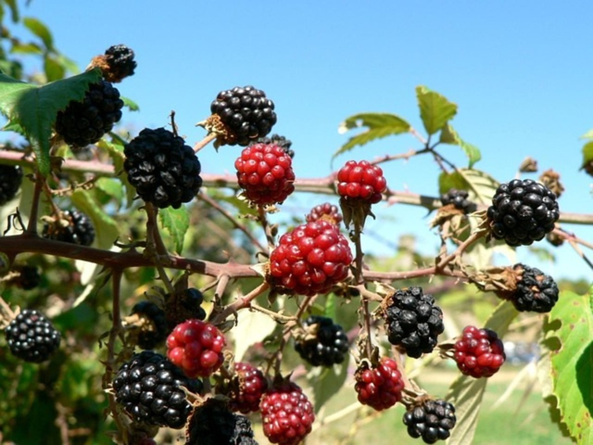 Mulberry Crop