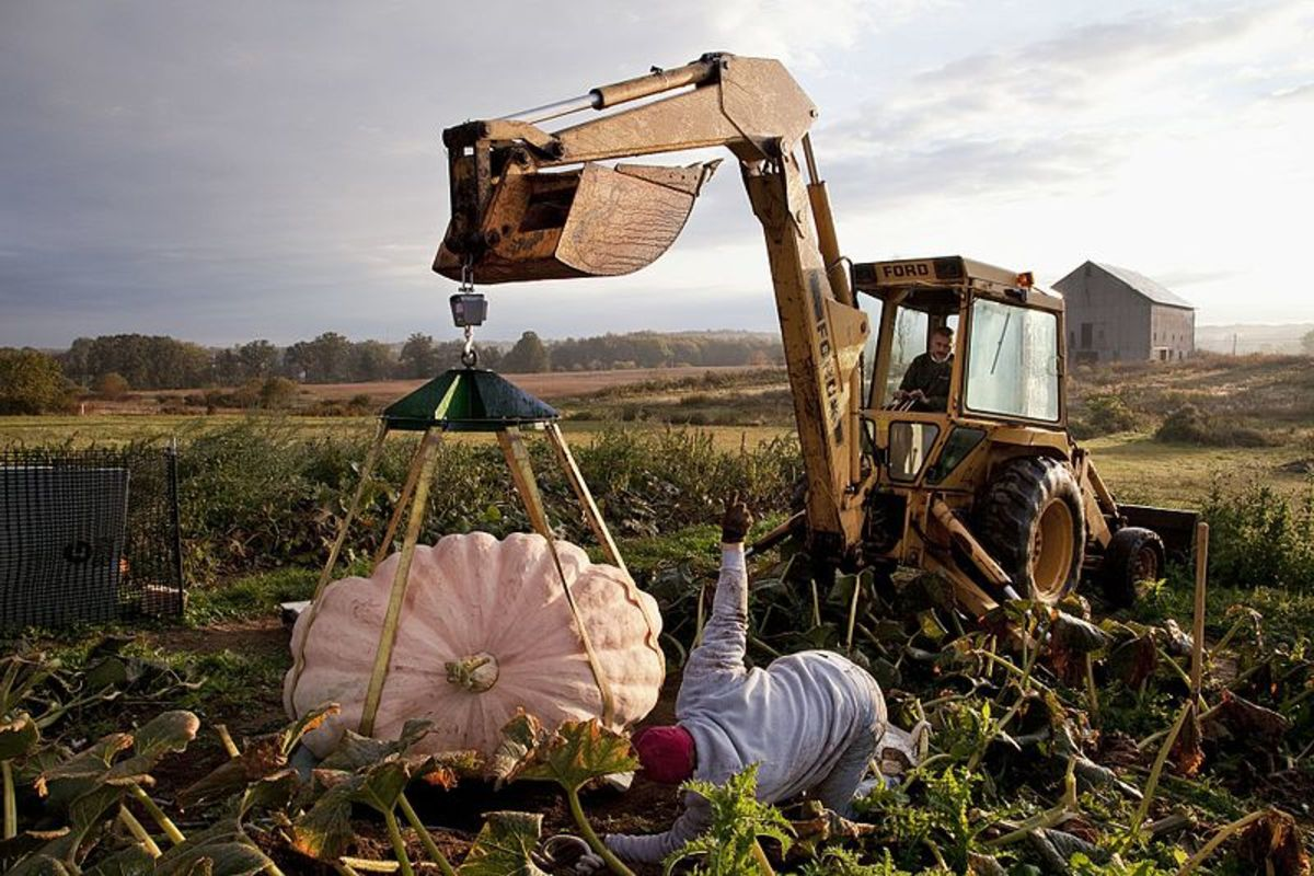 Use manpower or machine power to lift your pumpkin