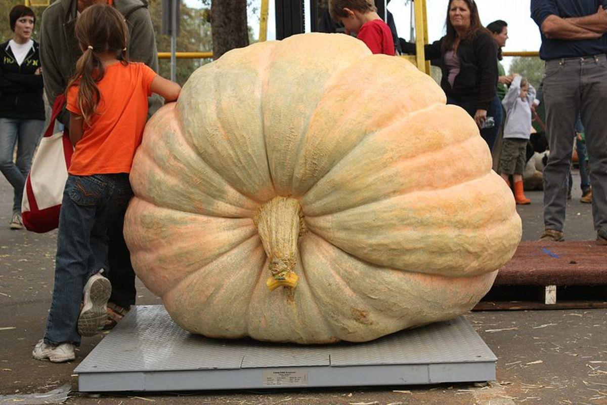 Atlantic Giant Pumpkin