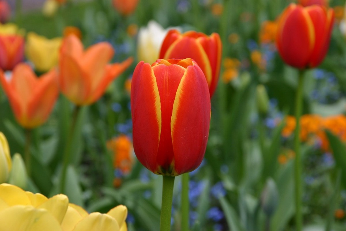 Tulips are planted in the fall after the soil has cooled.