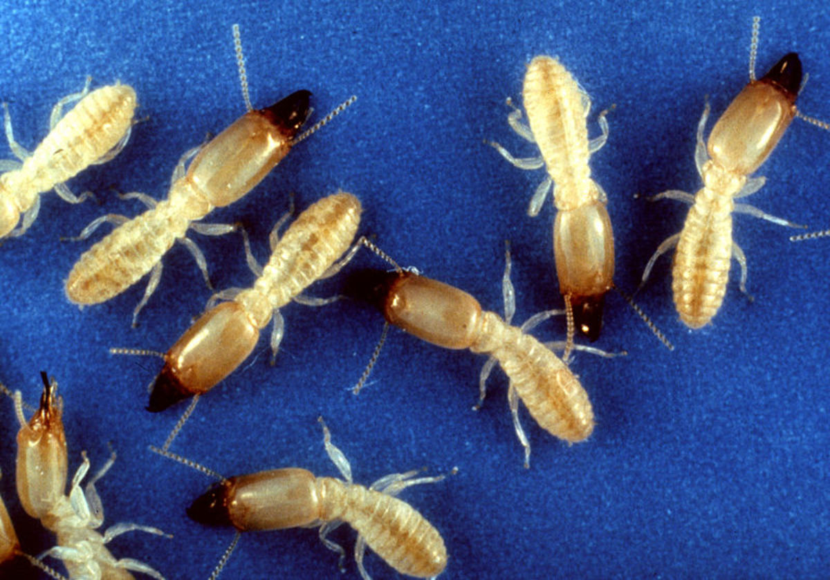 Reticulitermes subterranean termites prefer warmer climates, too, but are common in many more areas of the U.S.A.