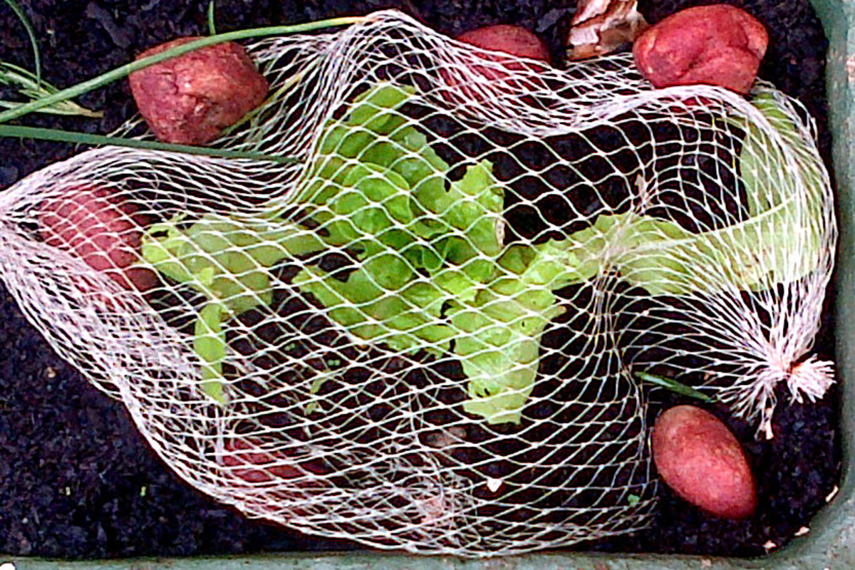 Veggie net bags get a new lease on life to protect against snail damage